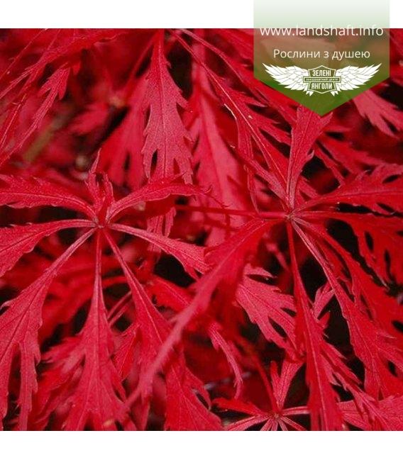 Acer palmatum dissectum 'Garnet' Клен японский