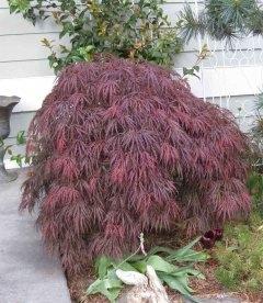 Acer palmatum 'Garnet', Клен пальмолистий 'Гарнет'