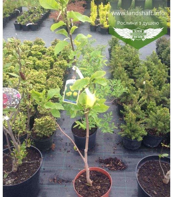 Magnolia x brooklynensis 'Yellow bird' Магнолия