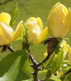 Magnolia brooklynensis 'Yellow Bird', Магнолія бруклинська 'Єллоу Бьорд'