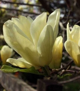 Magnolia 'Yellow River', Магнолія гола 'Єллоу Рівер'