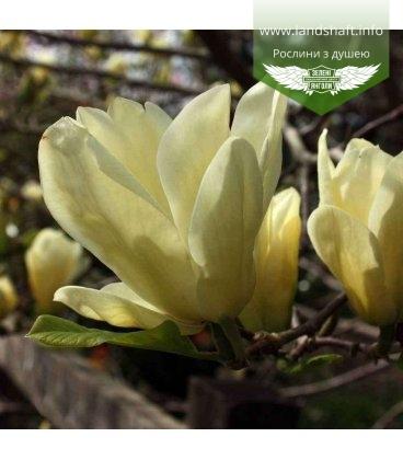 Magnolia 'Yellow River', Магнолія гола 'Єллоу Рівер'