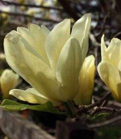 Magnolia denudata 'Yellow River', Магнолія гола 'Єллоу Рівер'