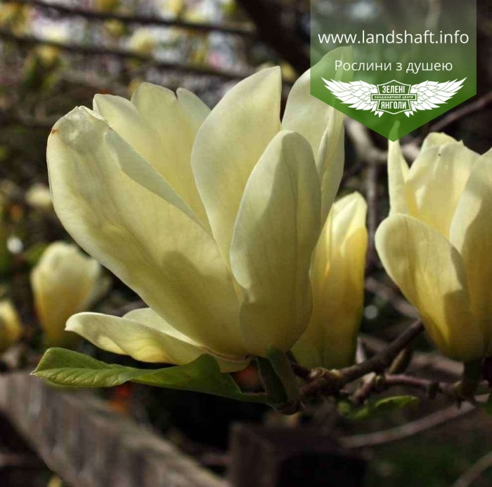 magnolia denudata 39 yellow river 39. Black Bedroom Furniture Sets. Home Design Ideas
