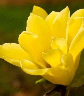 Magnolia hybrida 'Butterflies', Магнолія гібридна 'Баттерфлайз'