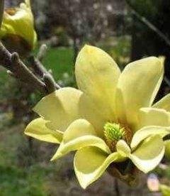 Magnolia acuminata 'Butterflies' Магнолия