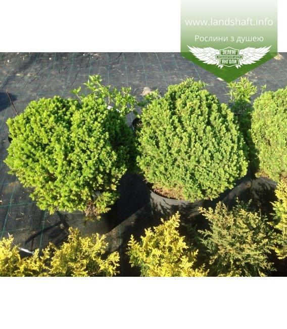 Picea glauca 'Alberta Globe' Ель канадская