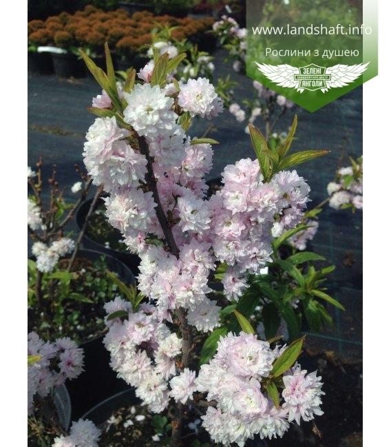 Deutzia х hybrida 'Pink Pompon', Дейція гібридна 'Пінк Помпом'