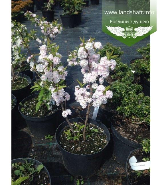Deutzia x hybrida 'Pink Pom-Pom(Rosea Pleana)' Дейция гибридная