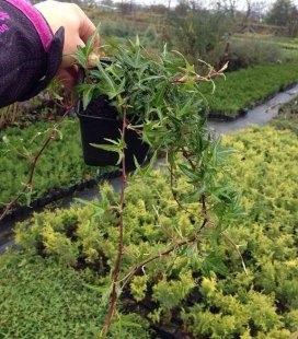 Hedera helix 'Sagittifolia' Плющ звичайний зірчастий