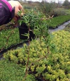 Hedera helix 'Sagittifolia' Плющ обыкновенный звездчатый