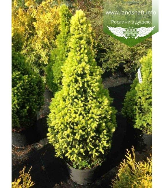Picea glauca 'Daisy's White', Ялина канадська 'Дейзіс Вайт'