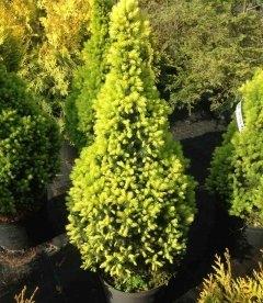 Picea glauca 'Daisy's White', Ель канадская 'Дейзис Вайт'