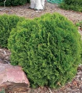 Thuja occidentalis 'Little Giant' Туя западная