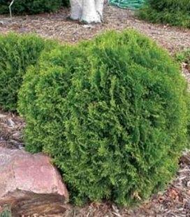 Thuja occidentalis 'Little Giant', Туя западная 'Литтл Джаент'