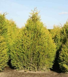 Thuja plicata 'Little Boy', Туя складчатая 'Литтл Бой'