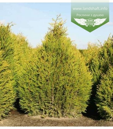 Thuja plicata 'Little Boy', Туя складчата 'Літл Бой'