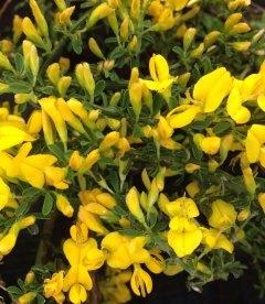 Cytisus decumbens, Ракитник стелющийся