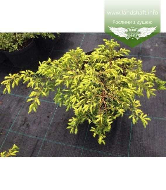 Juniperus communis 'Depressa Aurea' Можжевельник обыкновенный