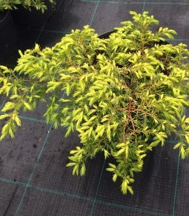 Juniperus communis 'Depressa Aurea', Ялівець звичайний 'Депреса Ауреа'