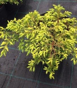 Juniperus communis 'Depressa Aurea', Можжевельник обыкновенный 'Депресса Ауреа'