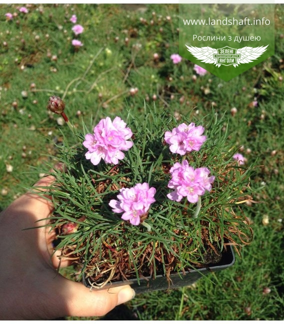 Armeria pink, Армерія рожева