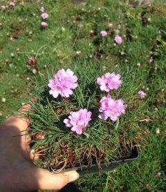 Armeria pink, Армерия розовая