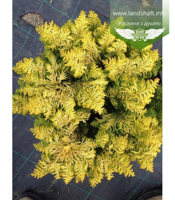 Chamaecyparis lawsoniana 'Jeanette' Кипарисовик Лавсона