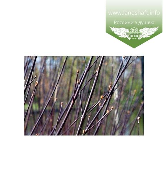 Cornus alba kesselringii Дерен белый (Свидина) Кессельринга
