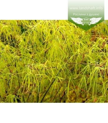 Acer palmatum 'Koto No Ito', Клен пальмолистий 'Кото Но Іто'