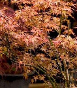 Acer palmatum 'Atropurpureum', Клен пальмолистный 'Атропурпуреум'