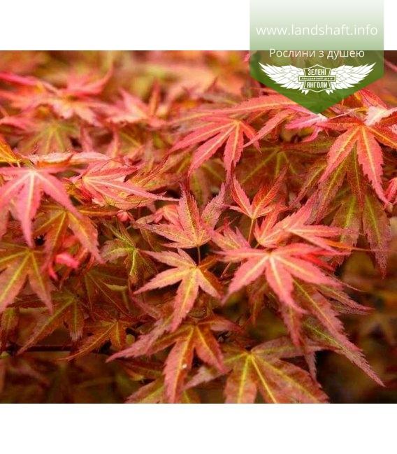 Acer palmatum 'Wilson's Pink Dwarf', Клен пальмолистий 'Вілсонз Пінк Дварф'