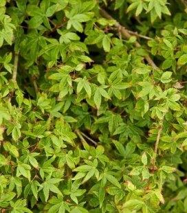 Acer palmatum 'Little Princess', Клен пальмолистный 'Литтл Принцесс'