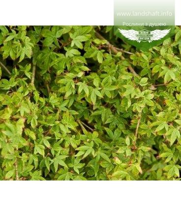 Acer palmatum 'Little Princess' Клен пальмолистный