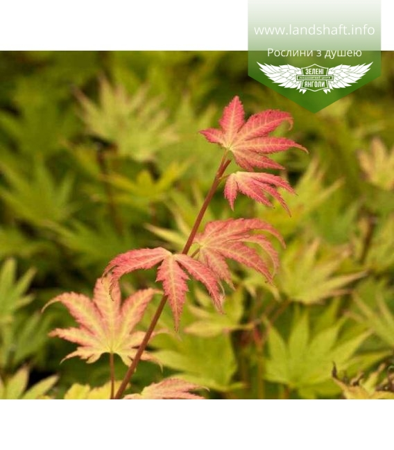 Acer shirasawanum 'Jordan', Клен Шірасави 'Джордан'