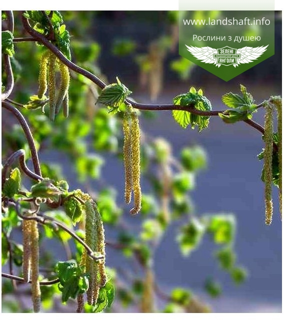 Corylus avellana 'Contorta', Ліщина європейська 'Конторта'