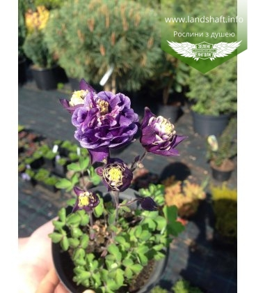 Aquilegia 'Winky Double Dark Blue' Аквилегия