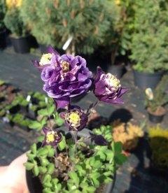 Aquilegia vulgaris 'Winky Double Dark Blue-White', Аквілегія звичайна 'Вінкі Дабл Дарк-Блу-Вайт'