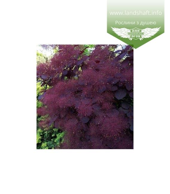 Cotinus coggygria 'Royal Purple', Cкумпія звичайна 'Роял Пьорпл'