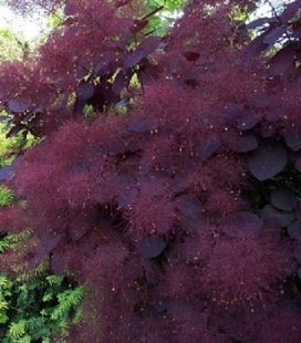 Cotinus coggygria 'Royal Purple', Скумпия кожевенная 'Роял Перпл'