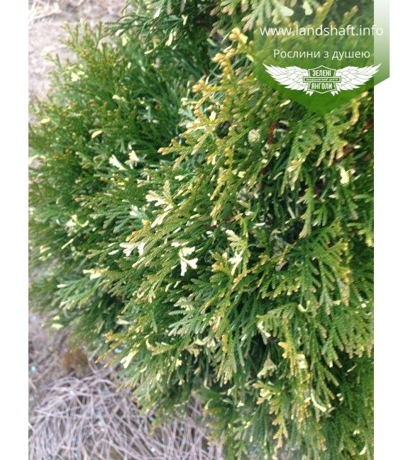 Thuja occidentalis 'Spotty Smaragd' Туя западная Туя западная