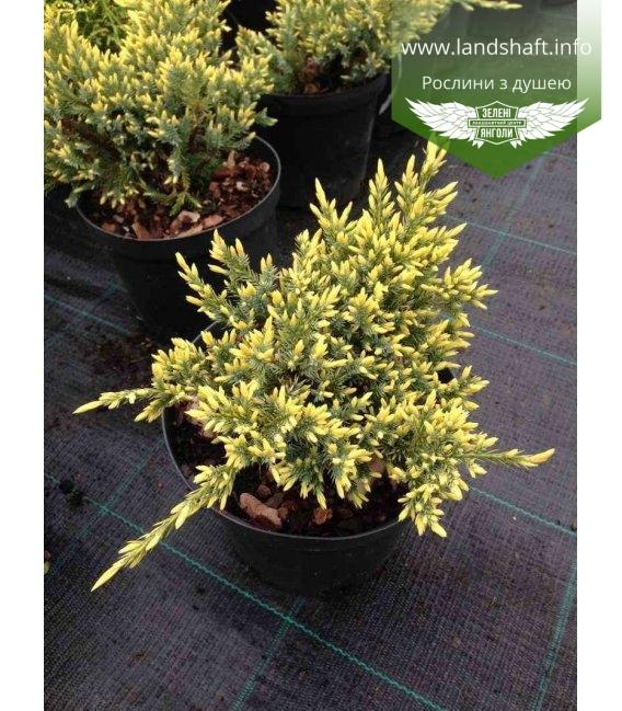 Juniperus squamata 'Dream Joy' Можжевельник чешуйчатый 'Дрим Джой'