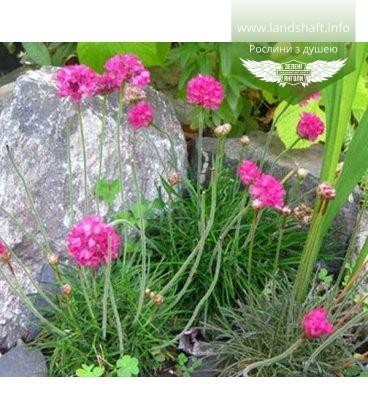 Armeria juniperifolia Армерия можжевелолистная