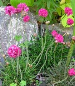 Armeria juniperifolia, Армерія дерниста