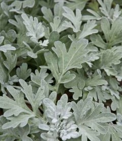 Artemisia stelleriana 'Boughton Silver' Полынь Стеллера