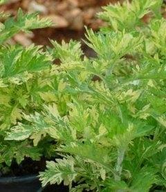 Artemisia vulgaris 'Janlim' Полынь обыкновенная