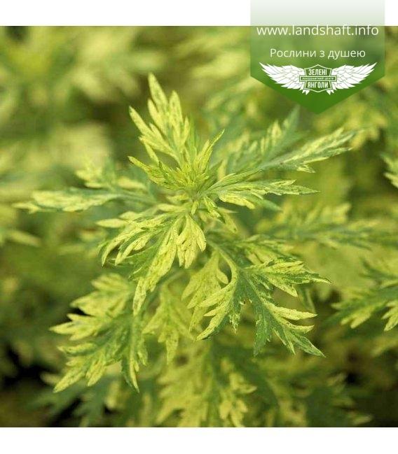 Artemisia abrotanum, Полин деревовидний