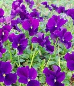 Viola cornuta 'Hansa', Фіалка рогата 'Ганза'