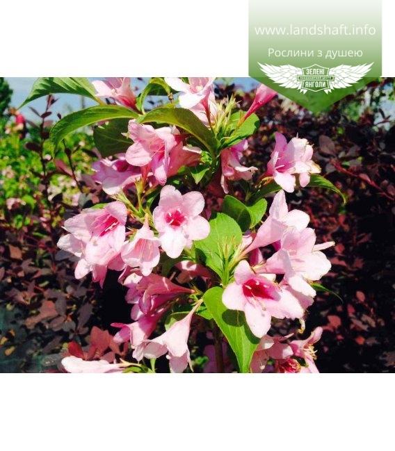 Weigela florida Pink, Вейгела квітуча рожева