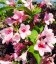 Weigela florida pink, Вейгела цветущая розовая